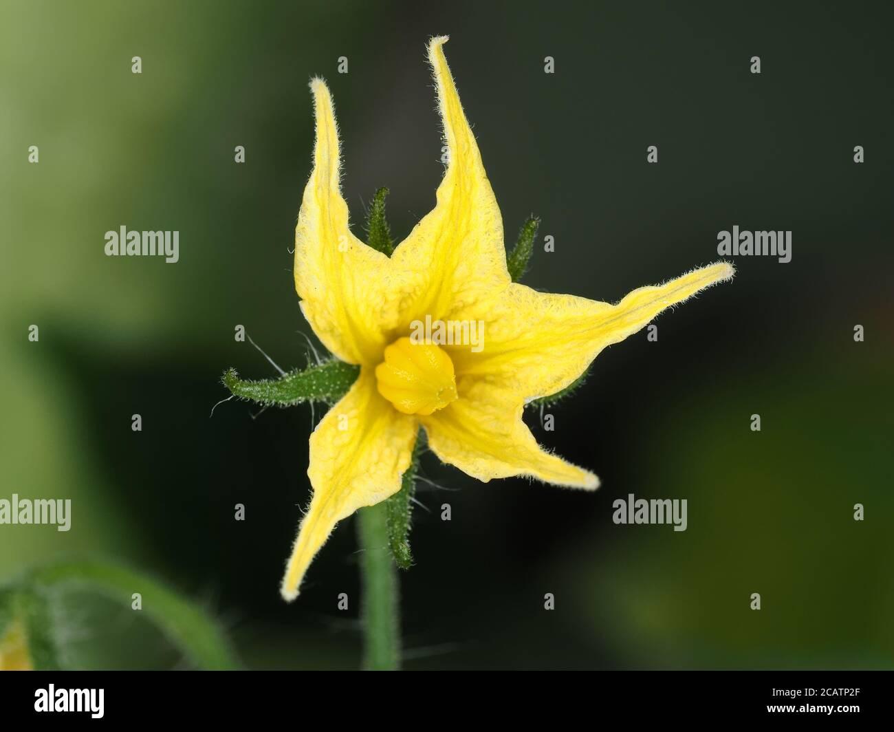 Tomato flower close-up Stock Photo