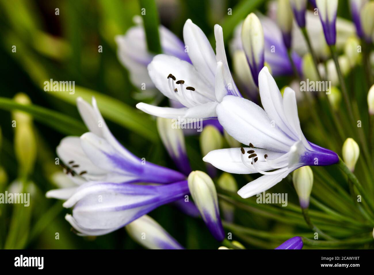 Agapanthus africanus 'Twister' Stock Photo