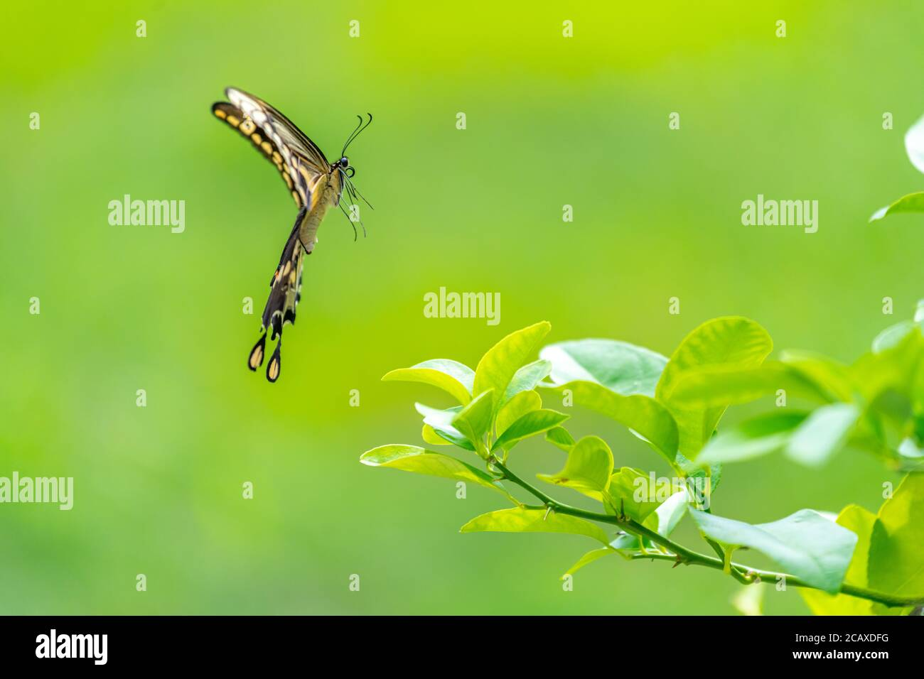 Side view of a Female Eastern Giant Swallowtail (Papilio cresphontes) in flight. Stock Photo