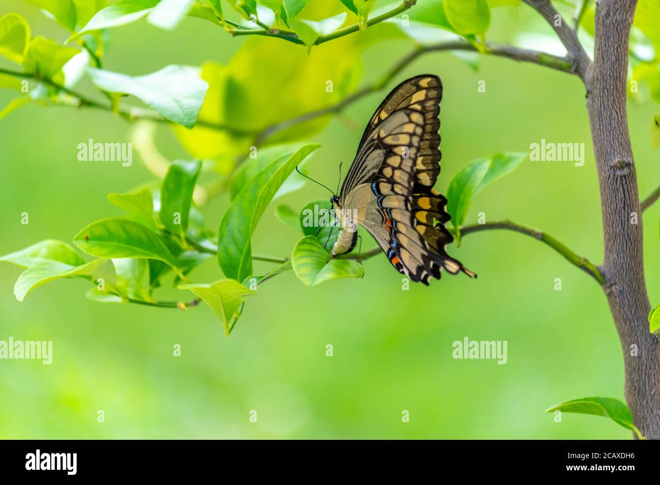 A Female Eastern Giant Swallowtail (Papilio cresphontes) laying an egg (just visible) on a potted lemon tree. Stock Photo