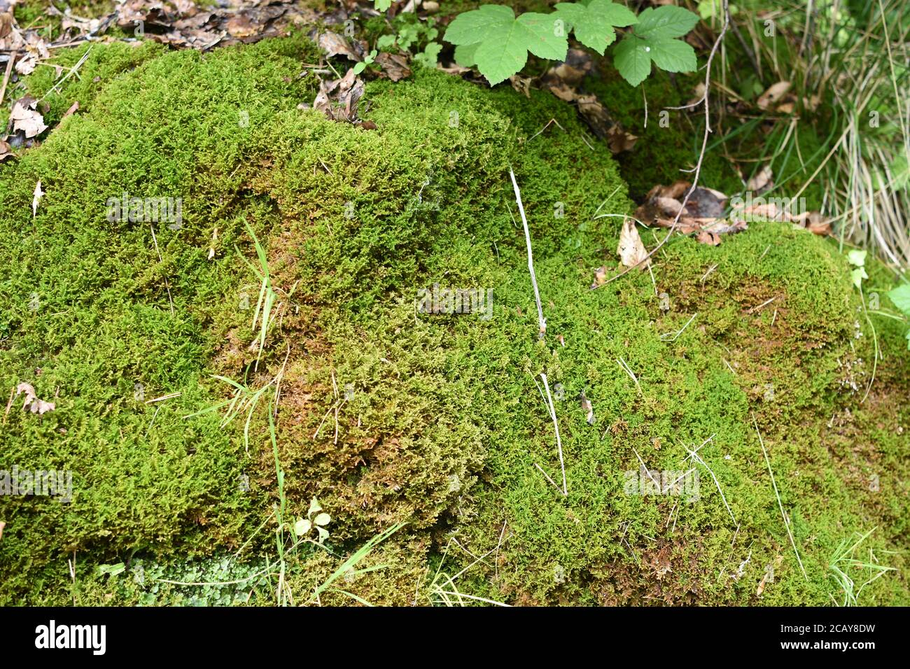 Vivid green moss growing on the small rock in the forest in Switzerland near tourist leading to Uetliberg mountain during summer. Stock Photo