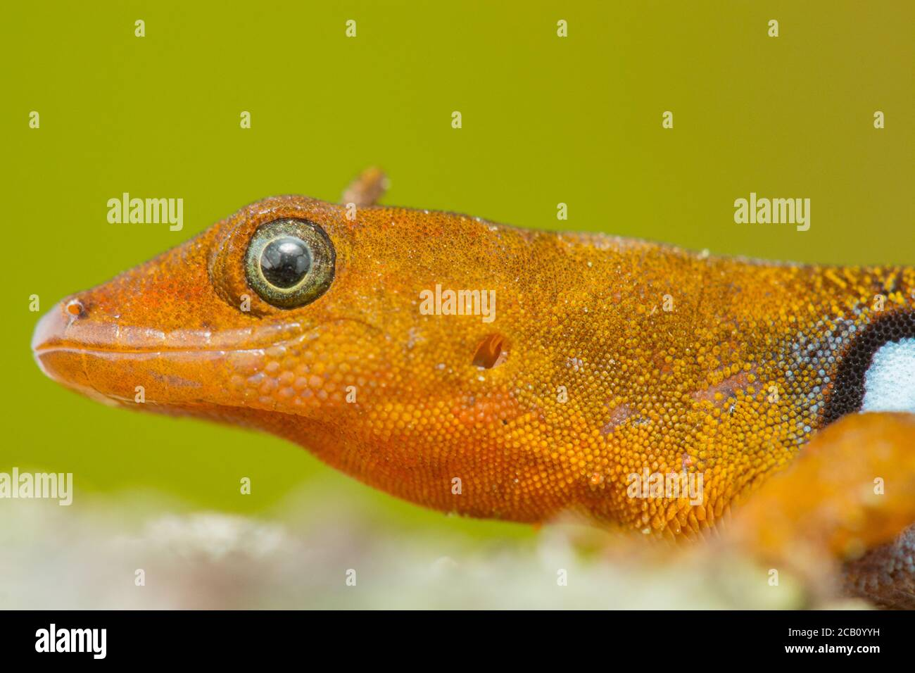 Gonatodes is a genus of New World dwarf geckos of the family Sphaerodactylidae, Colombia Stock Photo