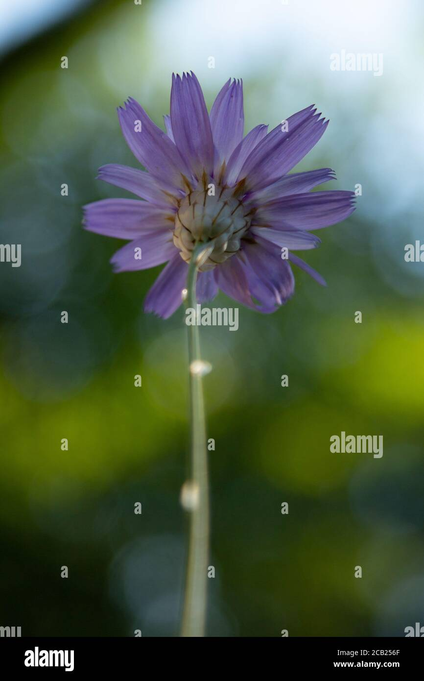 Wild Cupidone Flower in woodland.  This image has a painting quality to it. Stock Photo