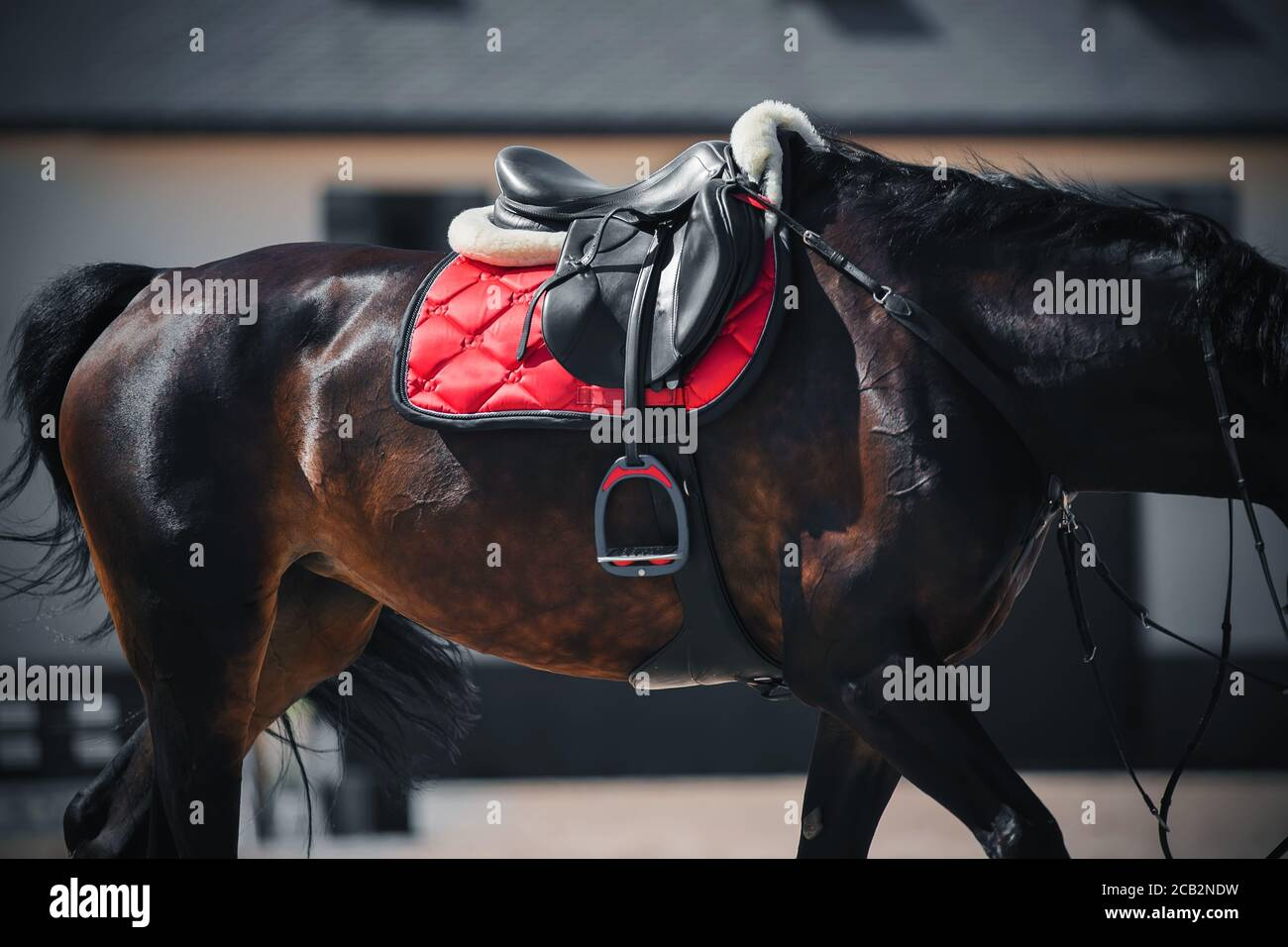 A Beautiful Bay Horse With A Long Tail Is Wearing Sports Equipment A Black Leather Saddle A Red Saddlecloth And A Stirrup Equestrian Sport Stock Photo Alamy