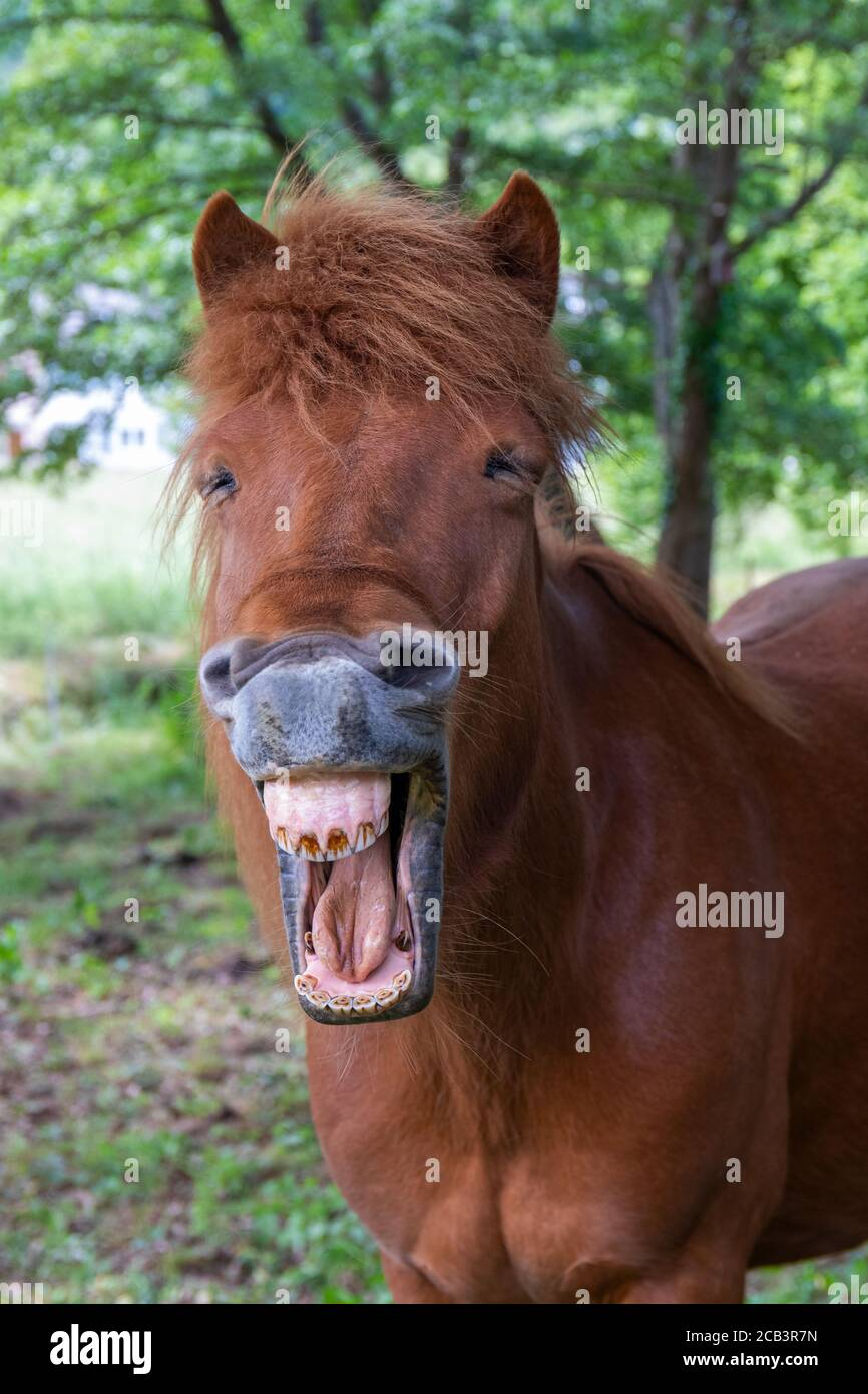 Funny Horse Face Laughing High Resolution Stock Photography And Images Alamy