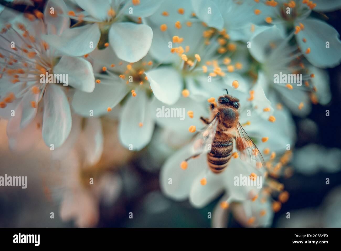 The bee collects pollen from white plum flowers. Spring blossoming scene Stock Photo