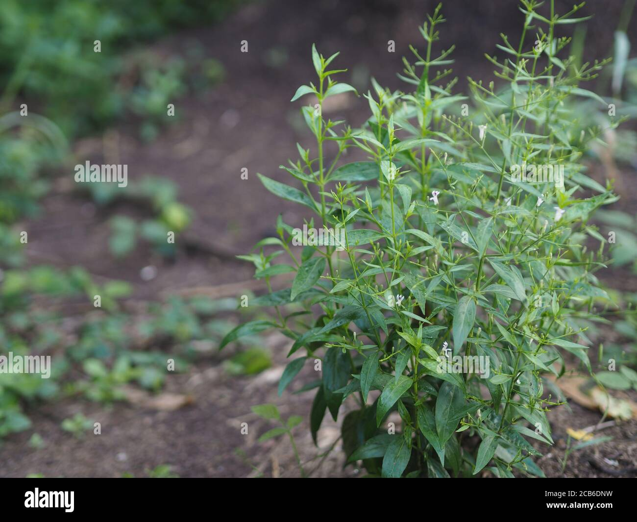 King Of Bitters Scientific Name Andrographis Paniculata Burm Wall Ex Nees Fah Talai Jhon Thai Herbs Relieve Sore Throat Reduce Fever Heat Up The Stock Photo Alamy Cognate with german wurm, english worm. alamy