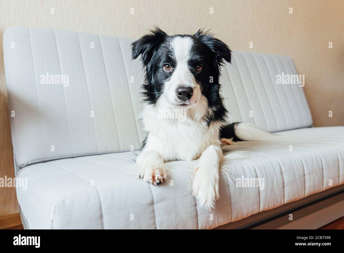Funny Portrait Of Cute Smiling Puppy Dog Border Collie On Couch Indoors New Lovely Member Of Family Little Dog At Home Gazing And Waiting Pet Care And Animals Concept Stock Photo
