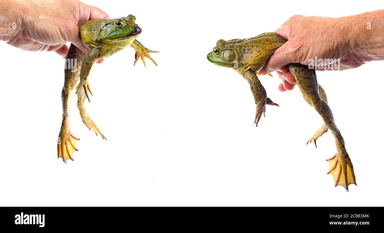 Two Closeup Focus Stacked Images of a Large American Bullfrog Held, Isolated on White Stock Photo