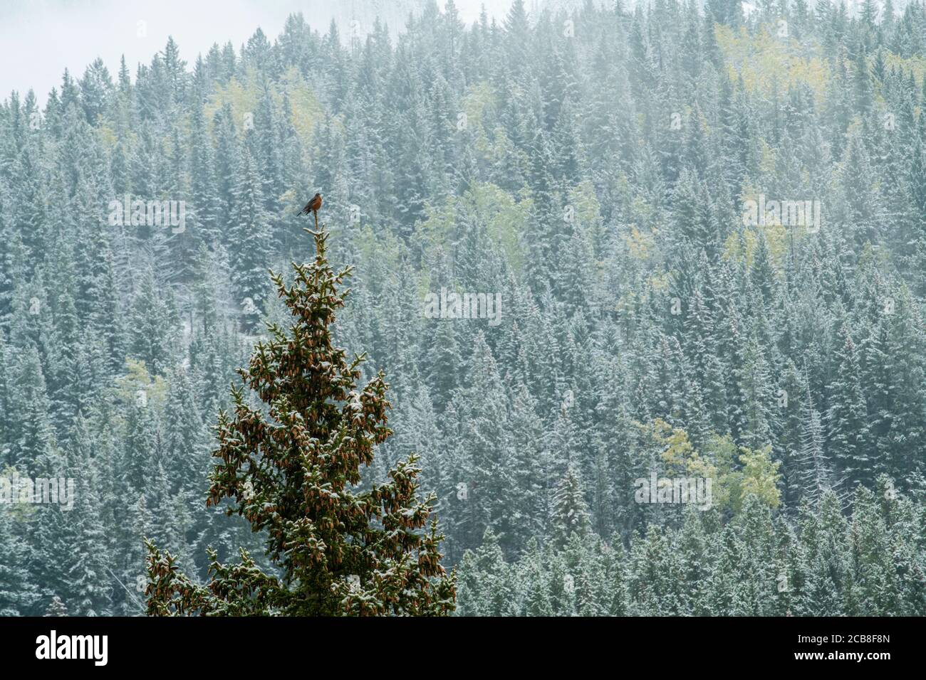 American Robin singing from the tip of a tree with fresh snow, Banff National Park, Alberta, Canada Stock Photo
