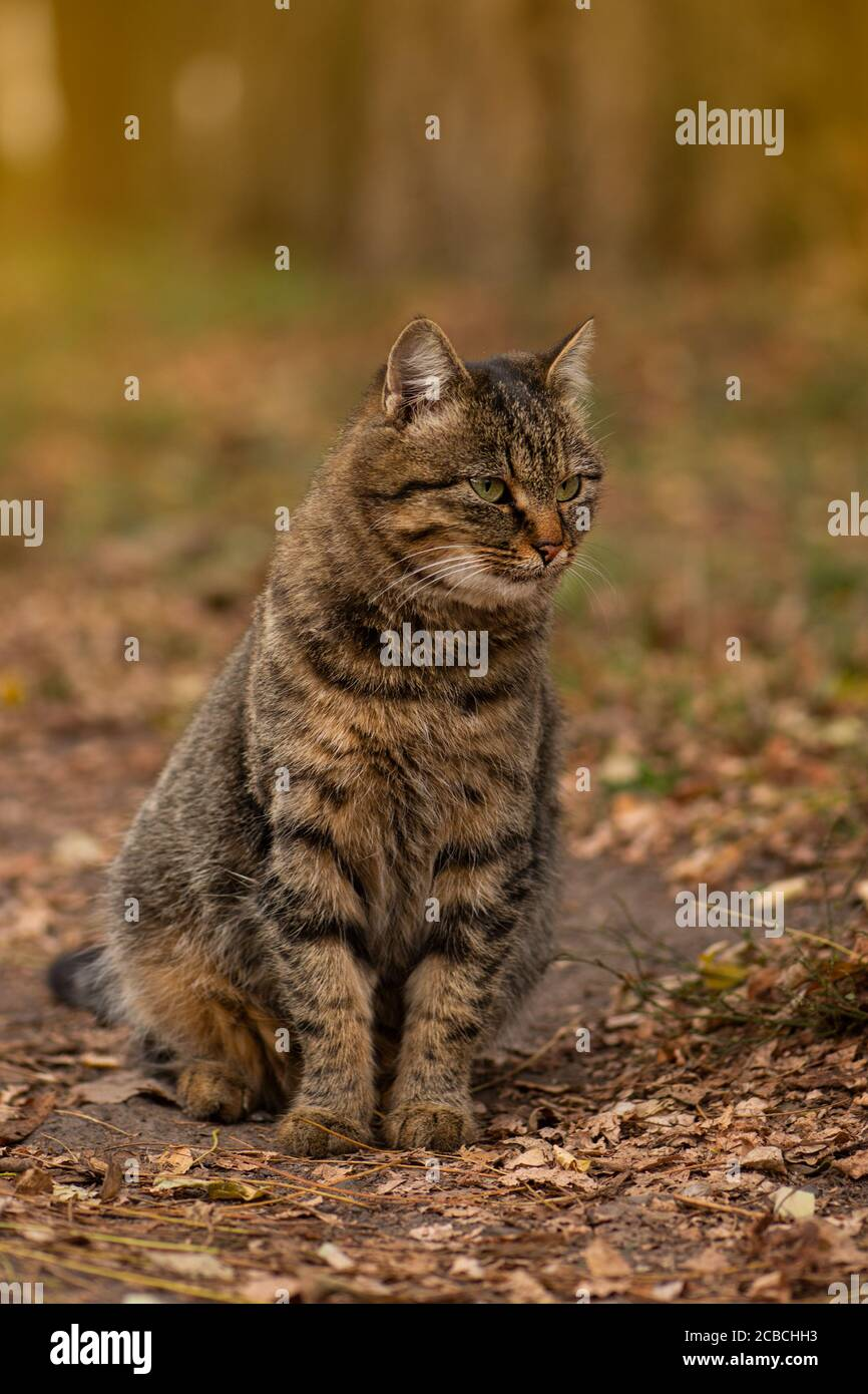 Cat playing in autumn with foliage. Fluffy tabby cat in colored leaves on nature. Striped tabby cat lying on the leaves in autumn. Stock Photo