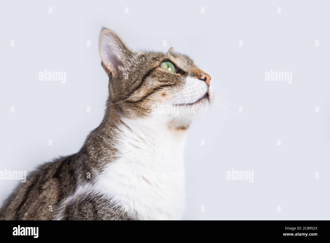 Cat sitting and looking up  isolated on white background. Stock Photo