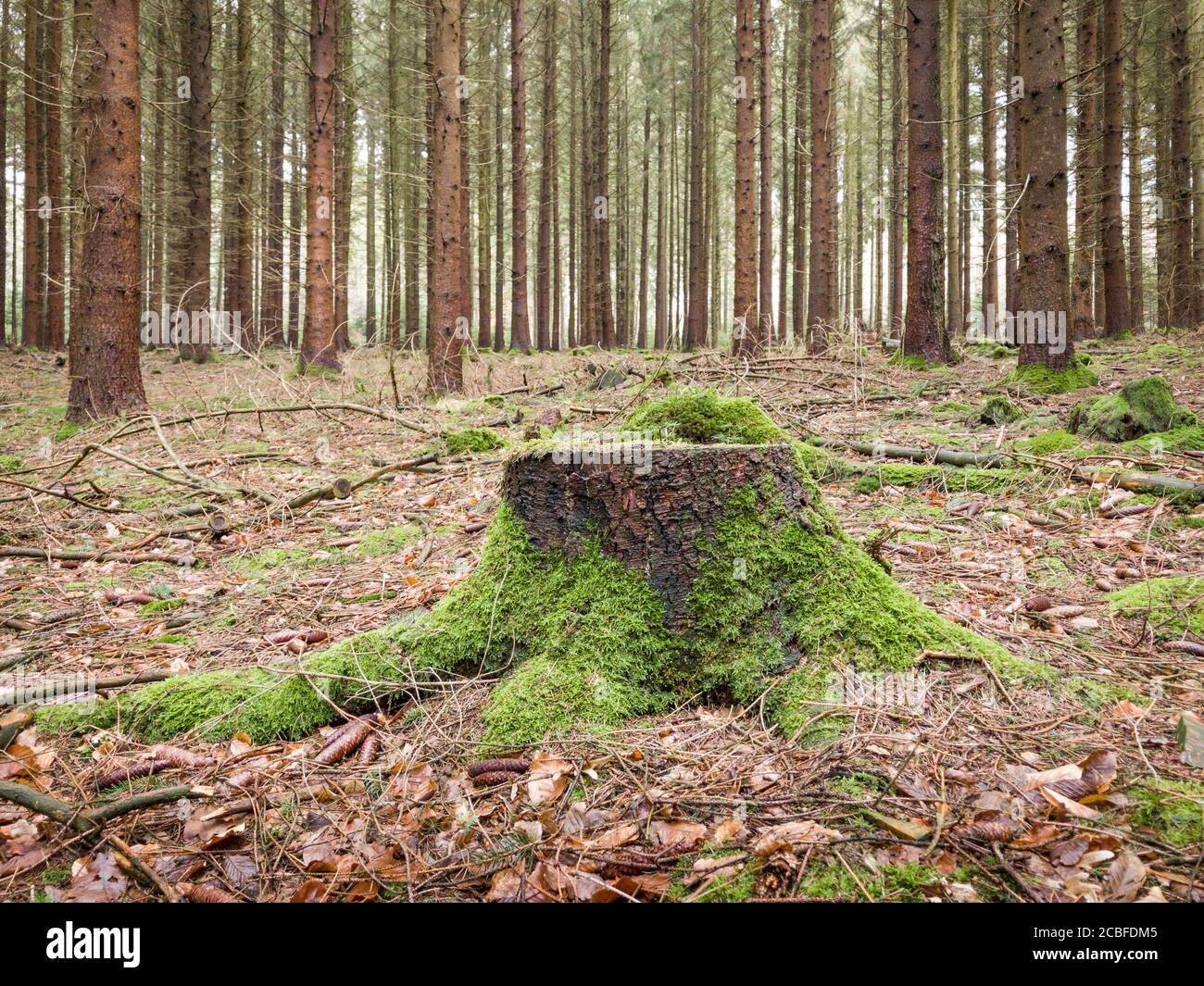 Tree stump with moss in a forest during autumn in the rural countryside in Westerwald, Rhineland-Palatinate, Germany Stock Photo