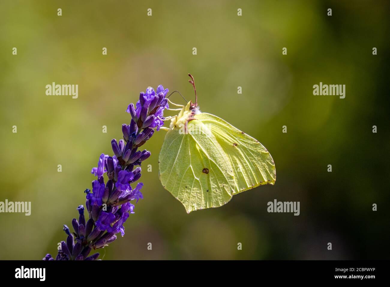 A Common brimstone butterfly (Gonepteryx rhamni) on Lavender Stock Photo