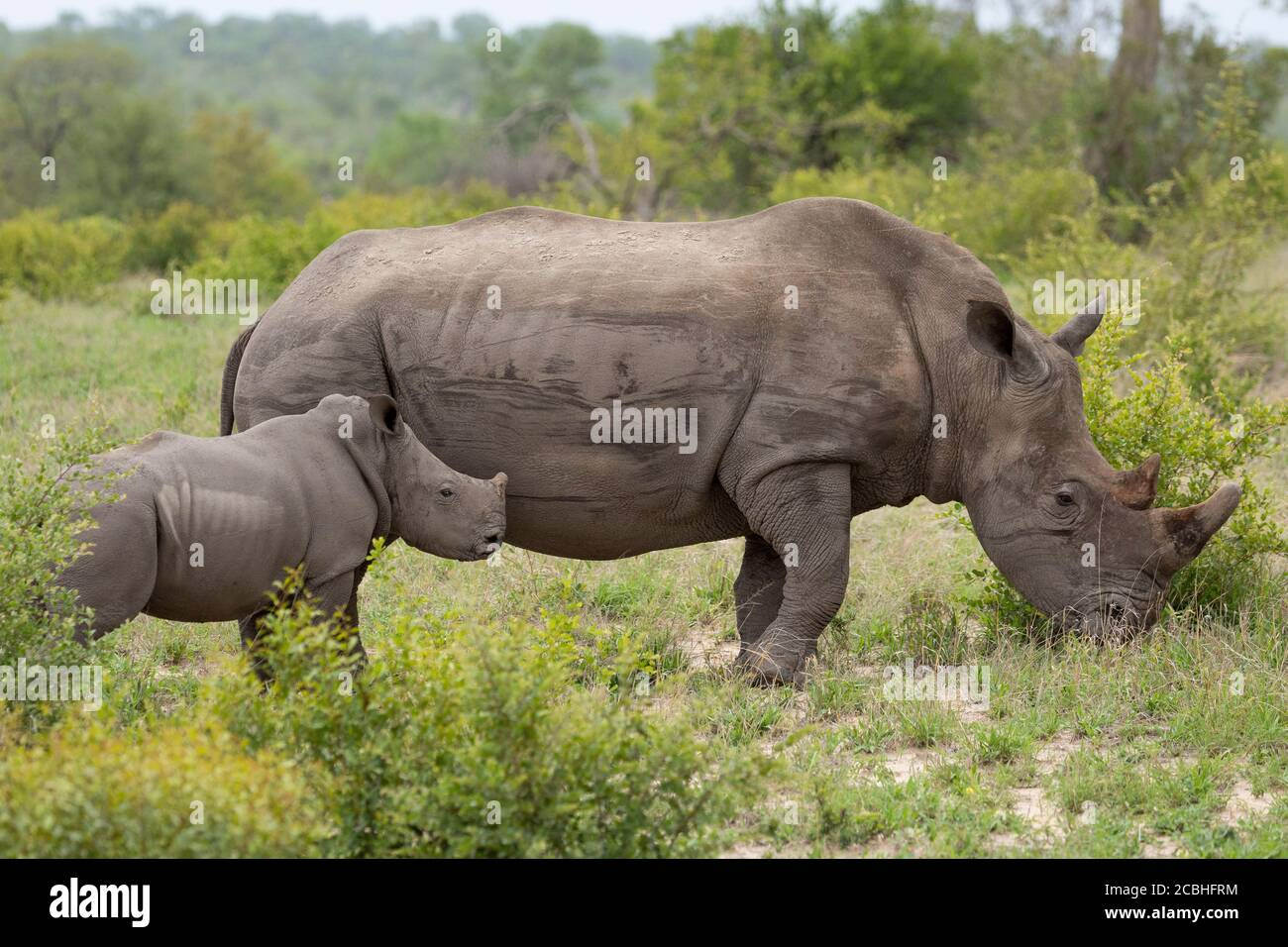 Mother and tiny white rhino baby standing alert in Kruger Park South Africa Stock Photo