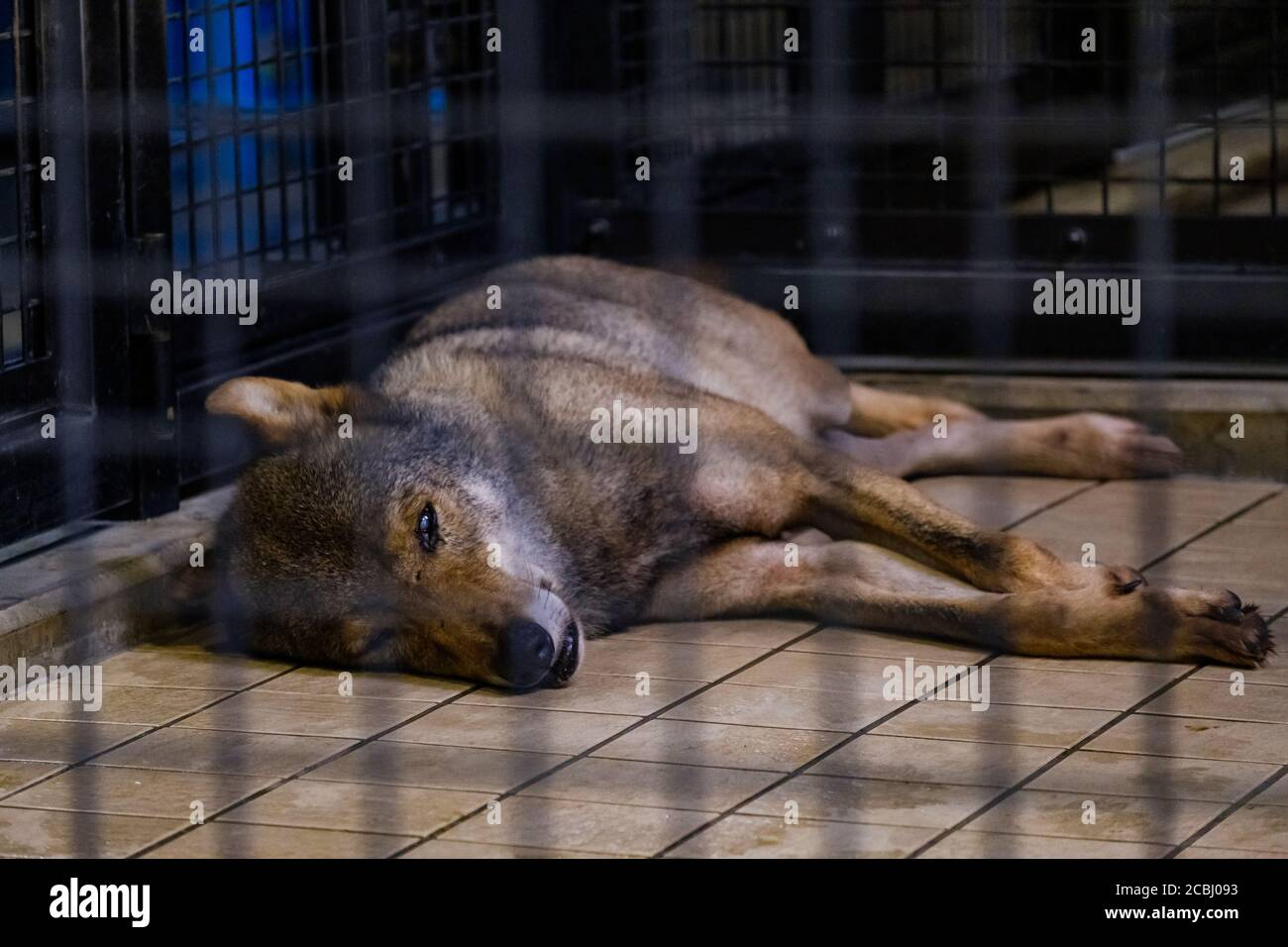 Bored wolf in a cage Stock Photo