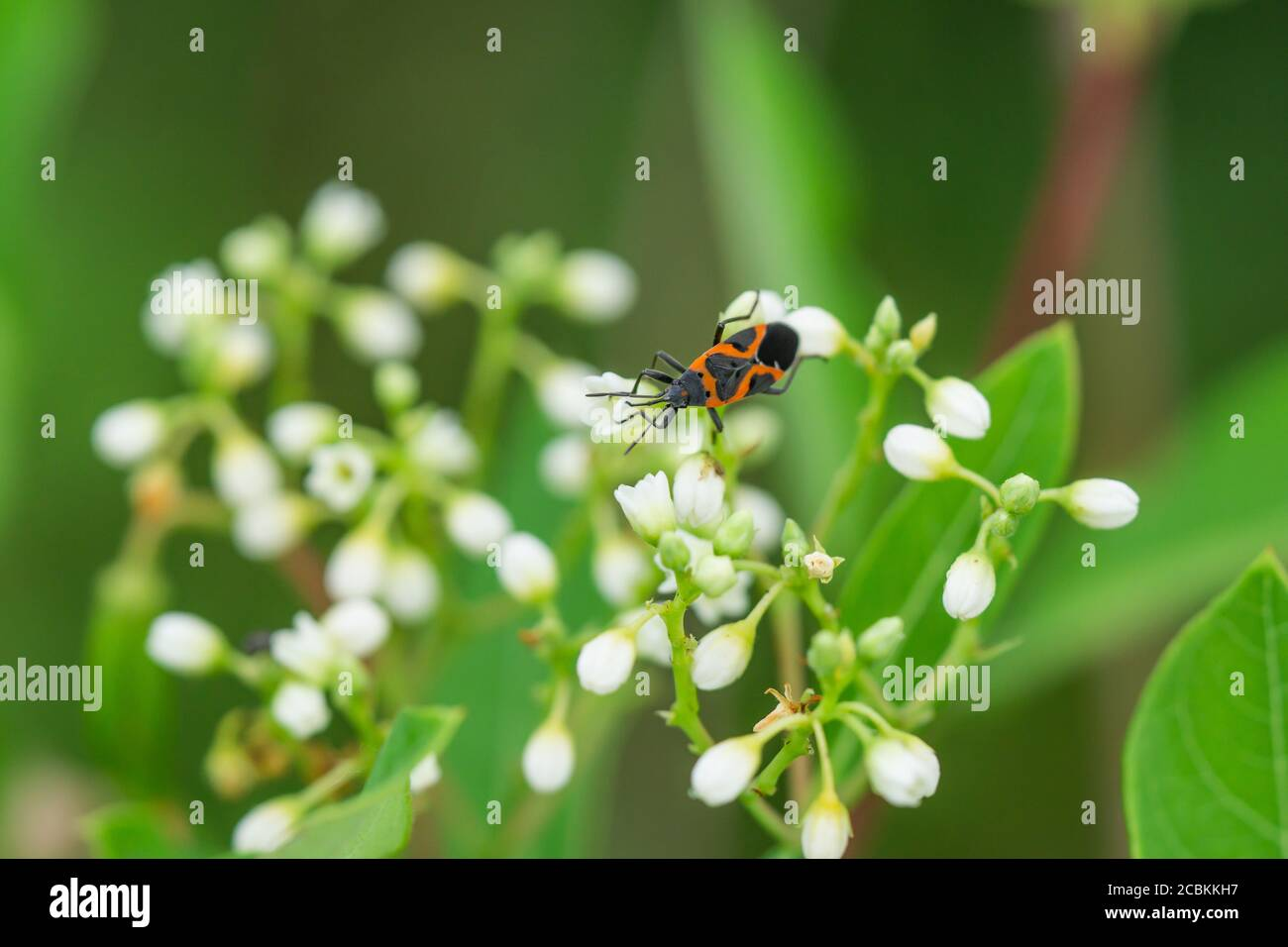 Eastern Small Milkweed Bug on Dogbane Flowers Stock Photo