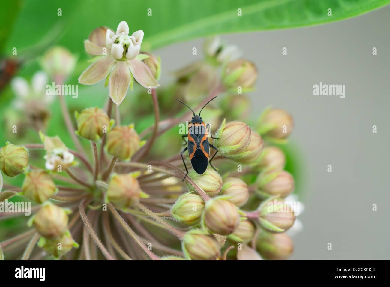Eastern Small Milkweed Bug on Milkweed Flowers Stock Photo