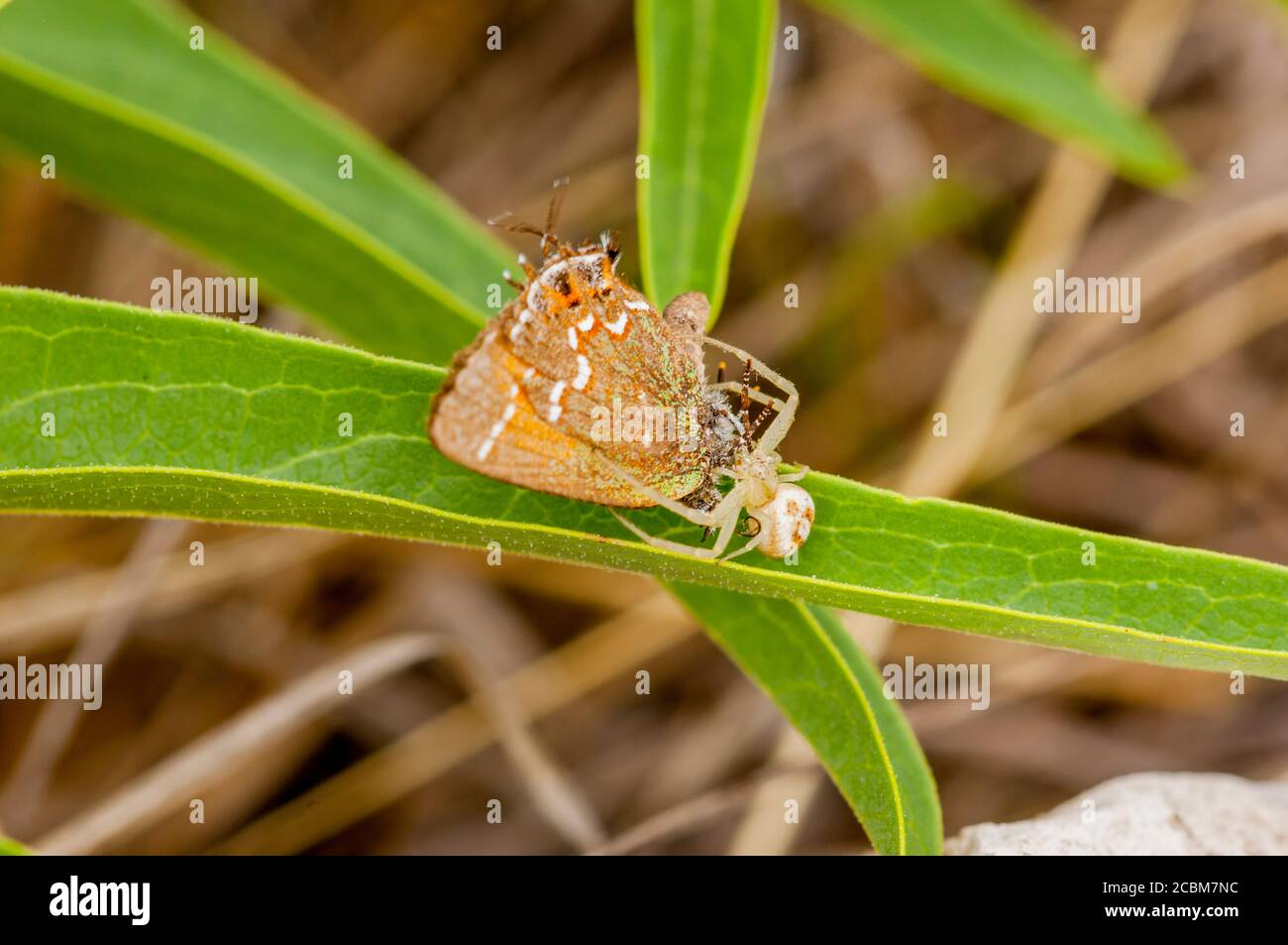 A crab spider caught an olive juniper hairstreak butterfly in the Hill Country of Texas near Hunt, USA. Stock Photo