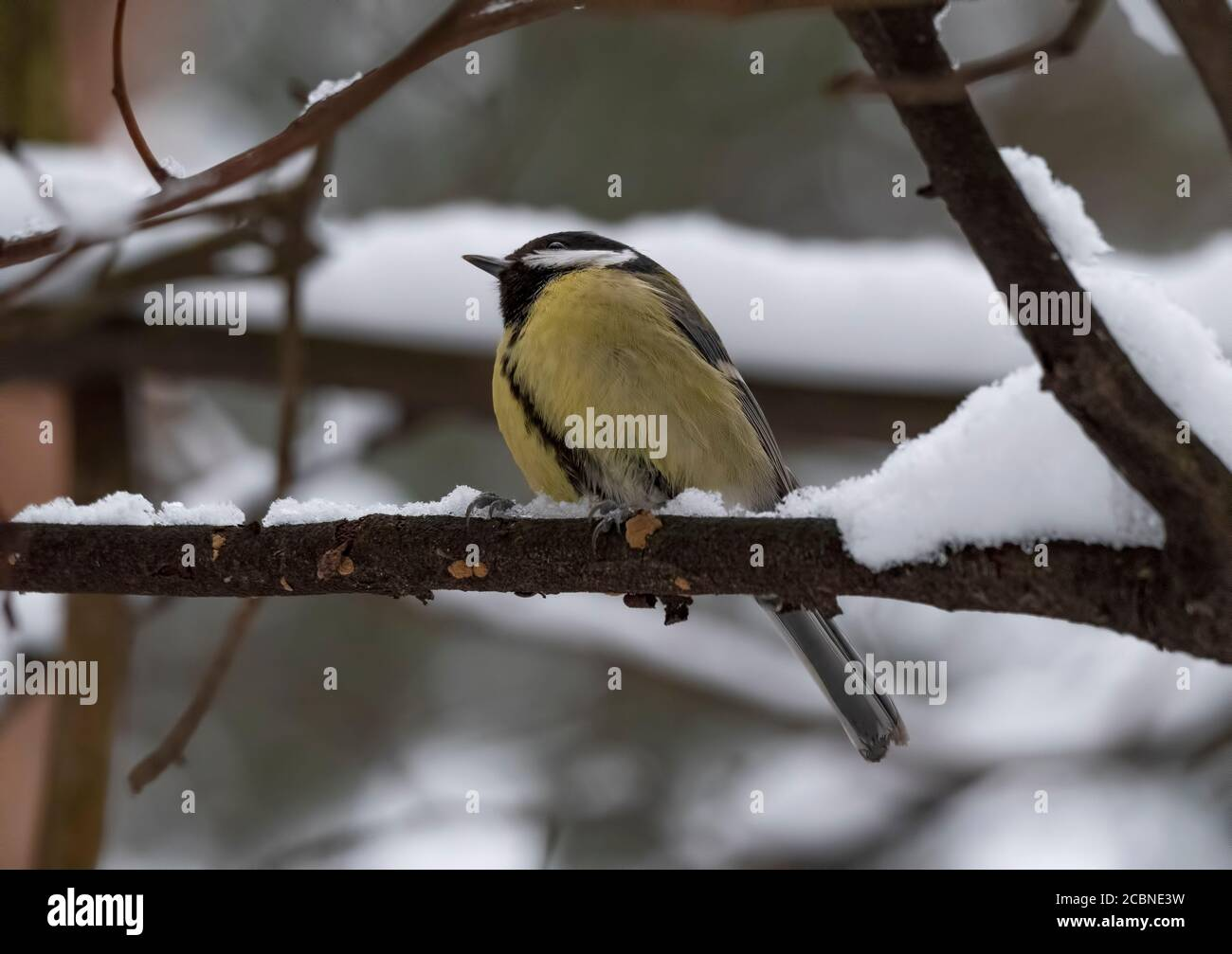 Birds near Moscow, yellow oatmeal on a tree branch. Stock Photo