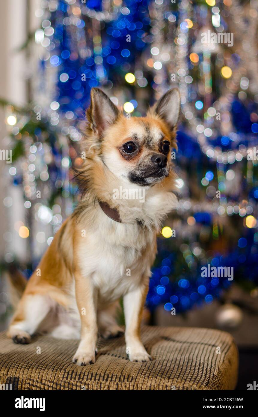Cute Chihuahua doggie sitting on sofa in front of ornate Christmas tree. One little light brown and white dog. Purebred breed of longhaired pet. Bokeh. Stock Photo