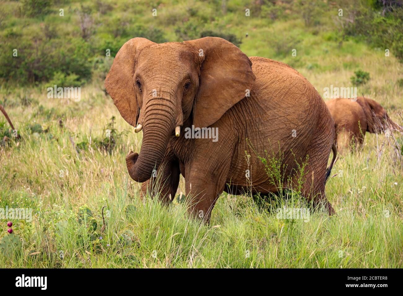 Close up of isolated large bull elephant grazing in Kenya, Africa Stock Photo