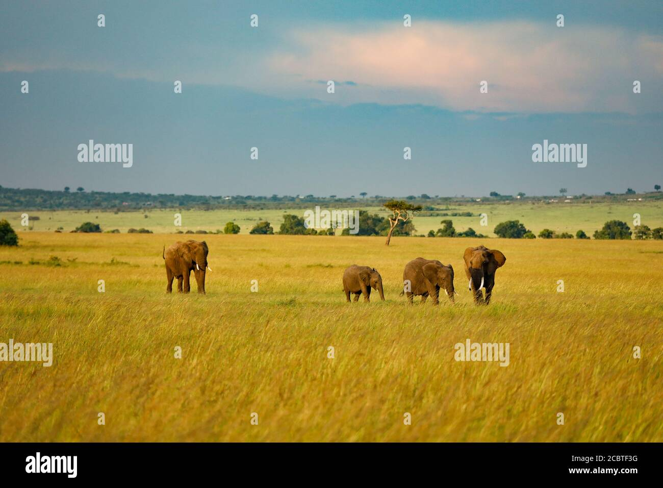 Herd of Elephants Walking Through Grassland in Kenya, Africa Stock Photo