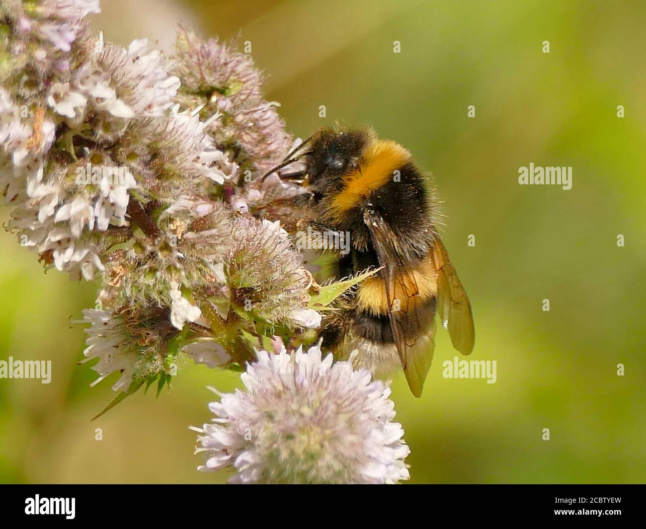 white-tailed bumblebee on peppermint flower Stock Photo