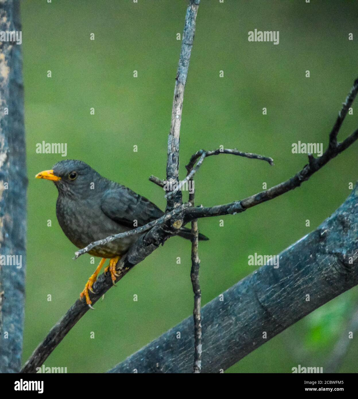 Olive Thrush bird perched on an elderberry tree known as Turdus olivaceus in garden Stock Photo