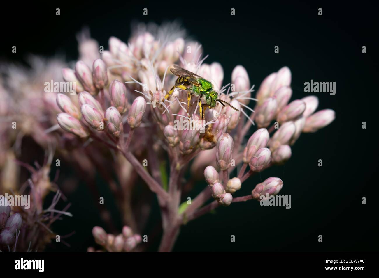 A bicolored striped-sweat bee forages for nectar on blooming Spotted Joe Pyeweed flowers at Dufferin Islands in Niagara Falls, Canada. Stock Photo