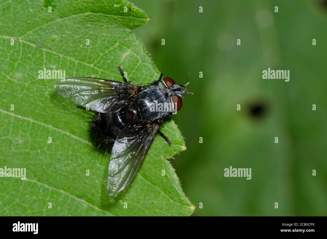 Tachinid Fly, Family Tachinidae Stock Photo