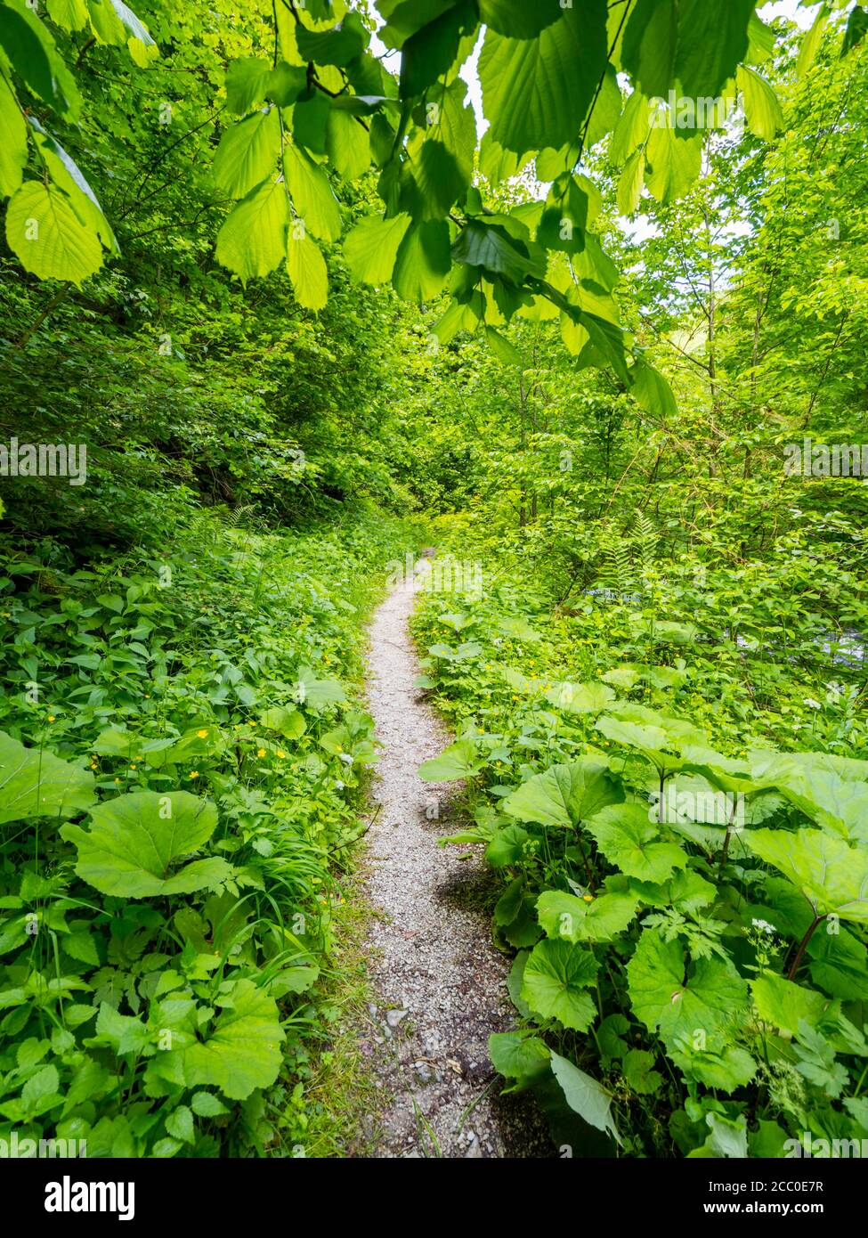Green forest trail narrow foottrail pathway through dense Green vegetation trees woodland in country-side countryside without people wop nobody Stock Photo