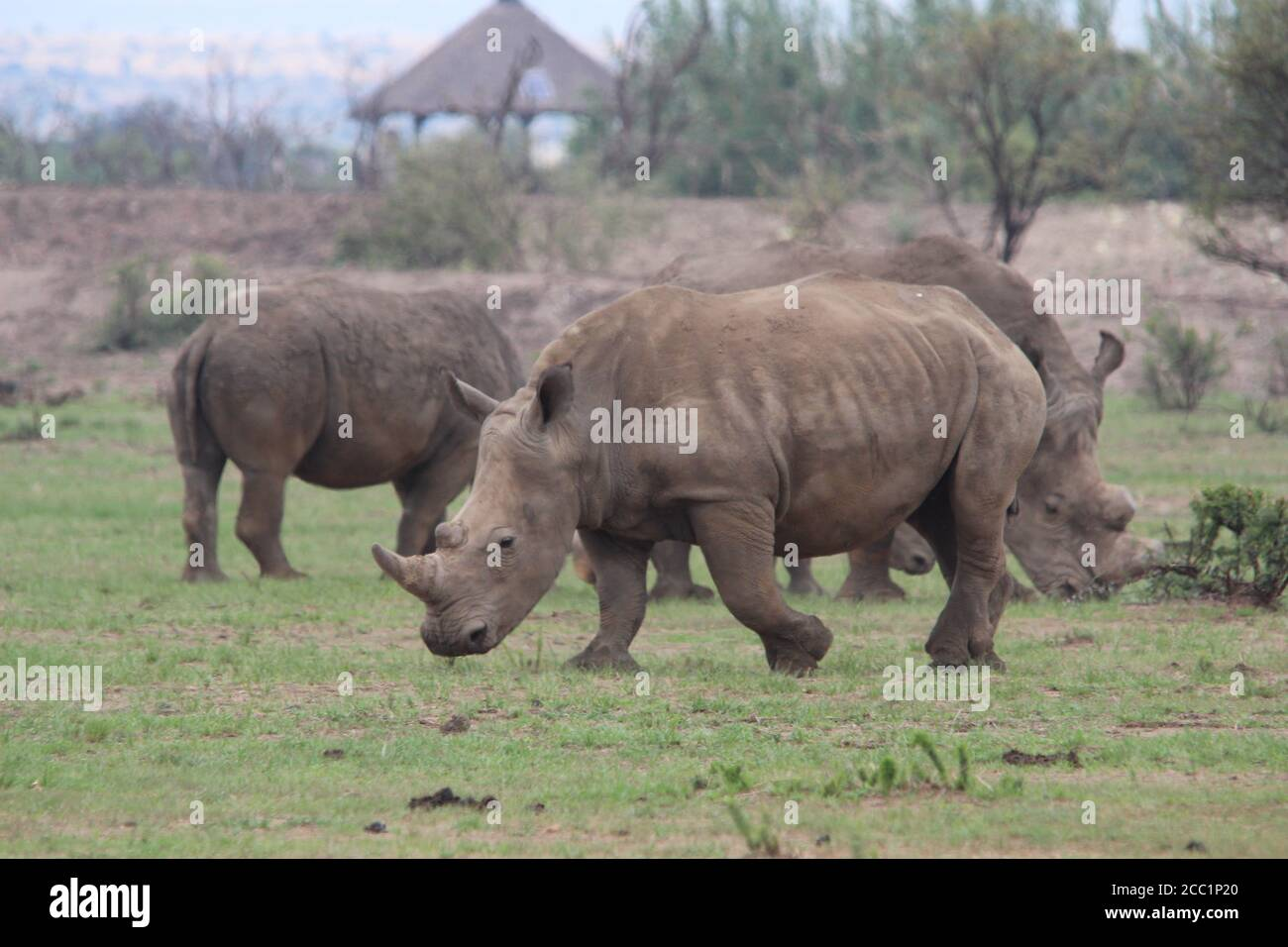 South Africa. 08th Feb, 2019. White rhinos go to the private rhino rearing facility of J. Hume in South Africa's North West Province. There are currently more than 1700 white rhinos on the farm. Credit: Jürgen Bätz/dpa/Alamy Live News Stock Photo