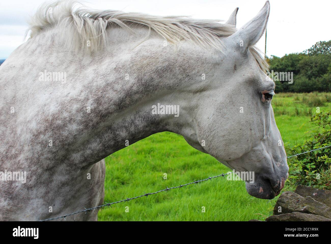 Dapple Grey Horse High Resolution Stock Photography And Images Alamy