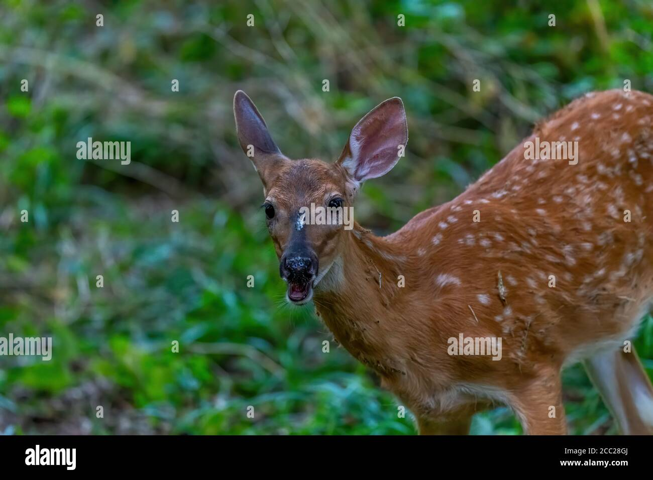 Close-up of a white tailed deer (Odocoileus virginianus) fawn in a forest in Michigan, USA. Stock Photo