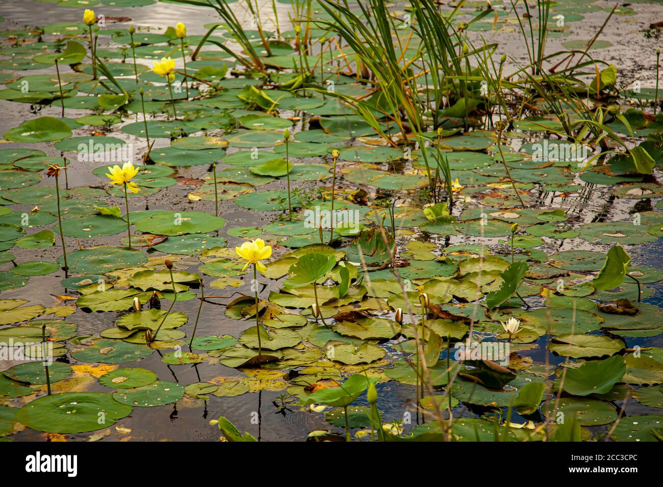 A close up view of a wetland featuring water lilies floating on surface of the water as well as grass and reeds. The lily pads have white and yellow f Stock Photo