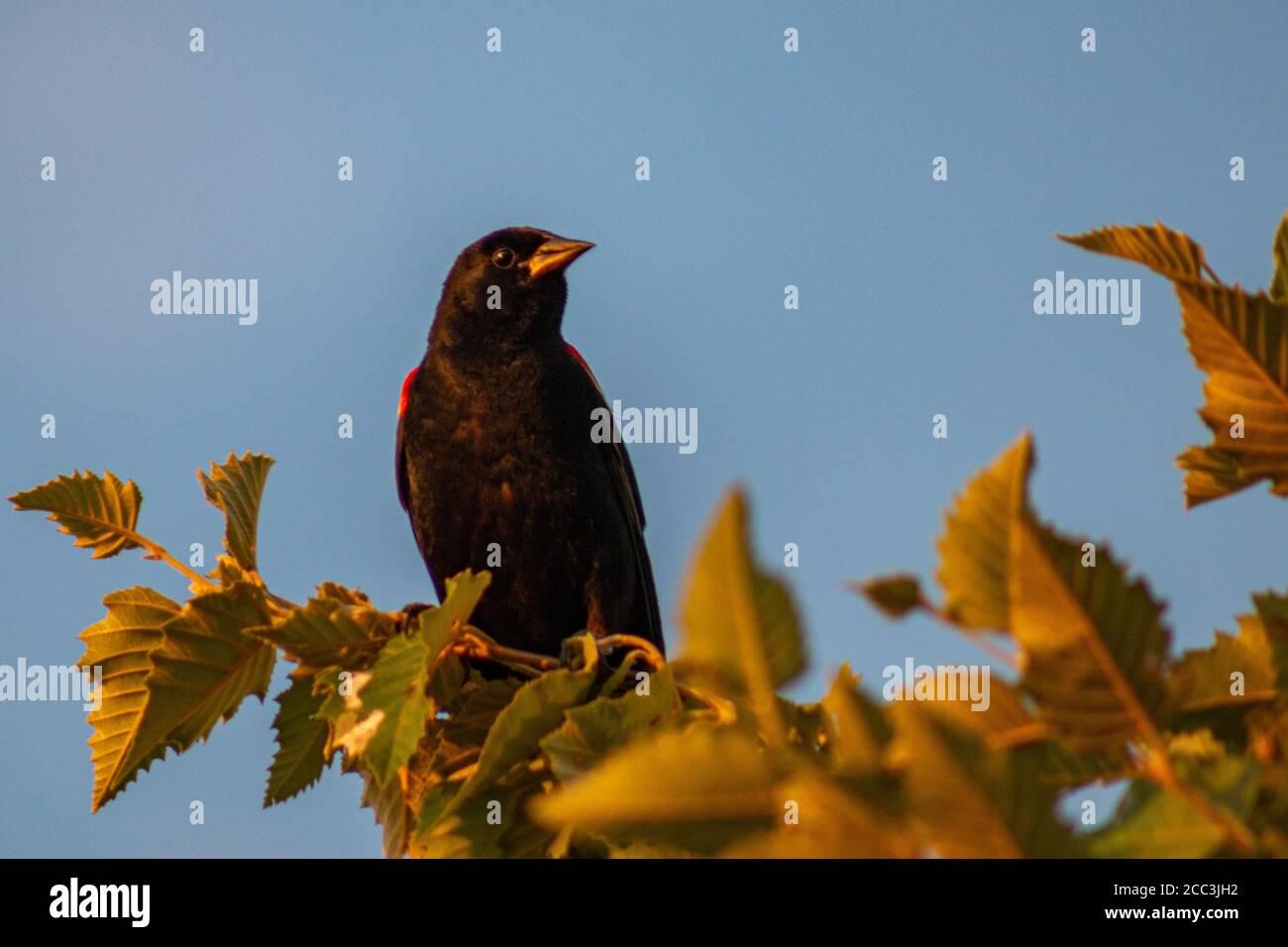 Red-winged blackbird sitting in tree at Mercy Park in Joplin, MO Stock Photo