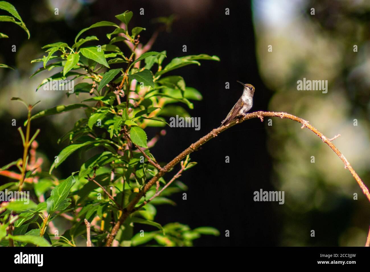 Ruby-throated hummingbird sitting in a tree in backyard in Joplin, MO Stock Photo