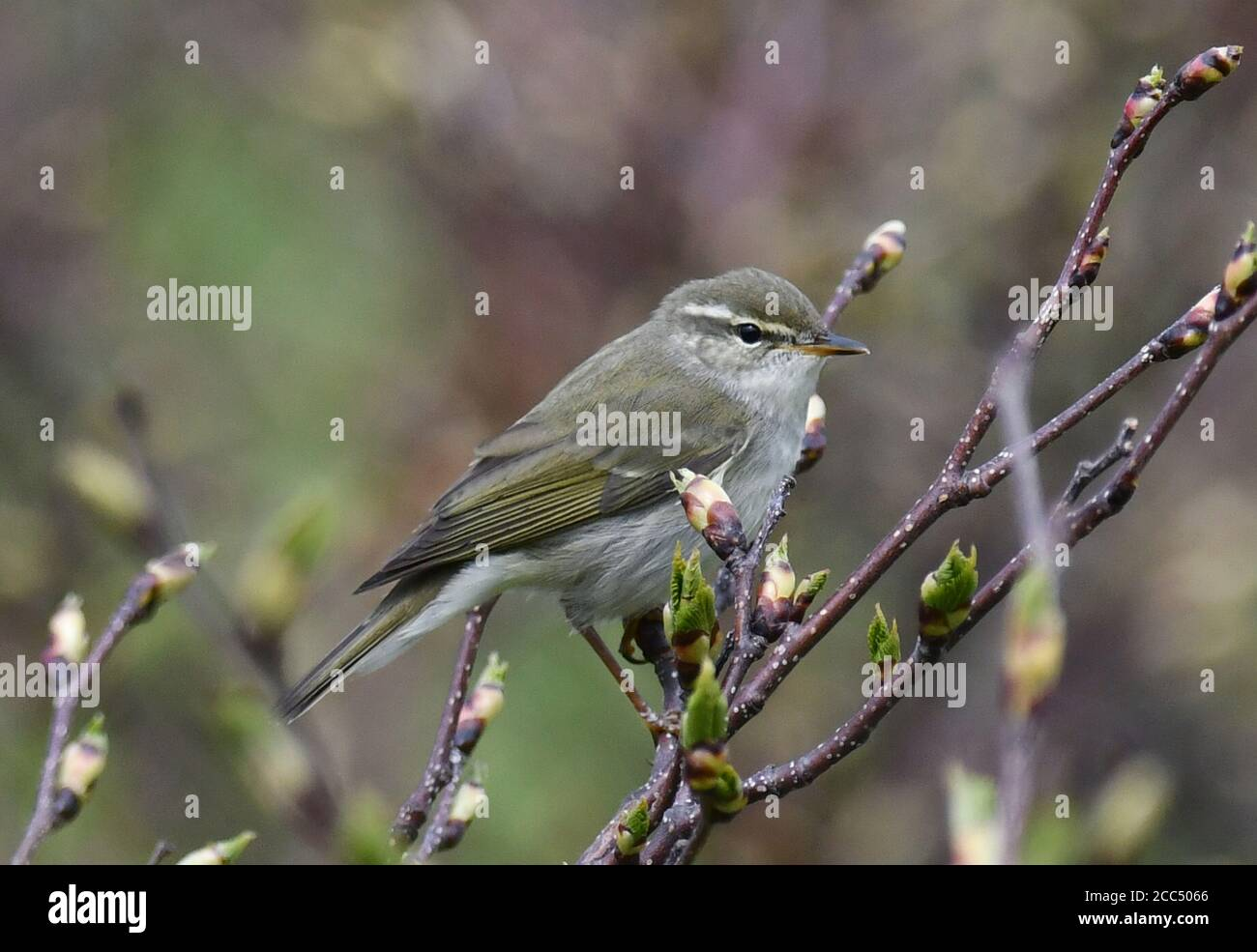 Kamchatka Leaf Warbler (Phylloscopus examinandus, Seicercus examinandus), perched in a low bush, Russia, Kurile Islands, Simushi Stock Photo