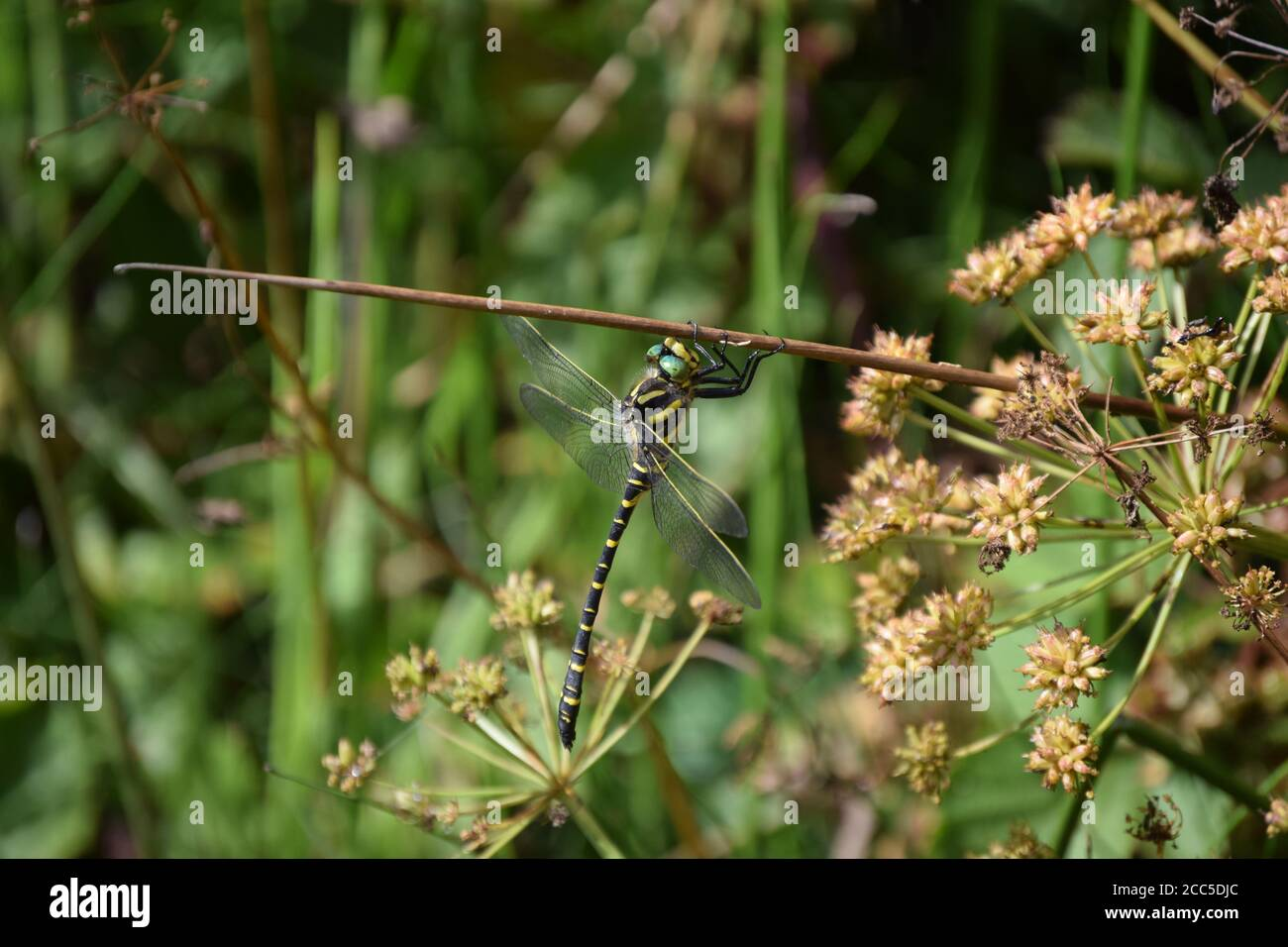 Golden-ringed Dragonfly hanging from stem Stock Photo