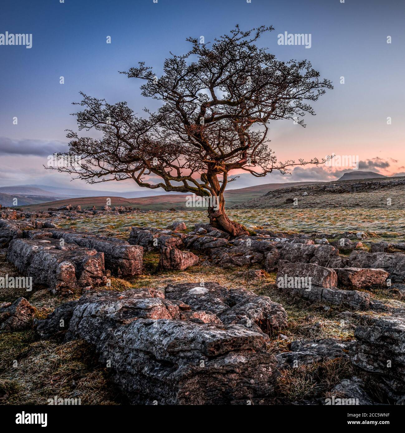 A lone weathered tree in amongst the limestone pavement of the Yorkshire Dales National Park Stock Photo