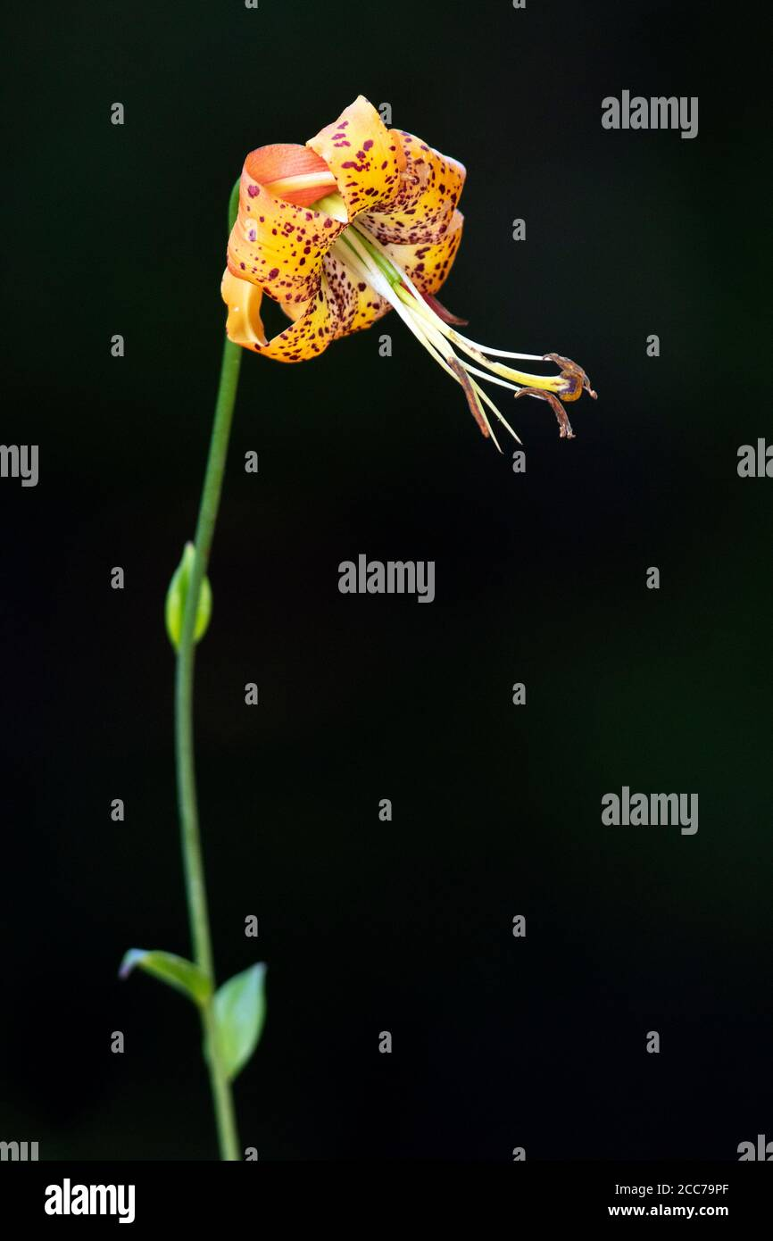 Turk's Cap Lily (Lilium superbum) - DuPont State Recreational Forest, near Hendersonville, North Carolina, USA Stock Photo