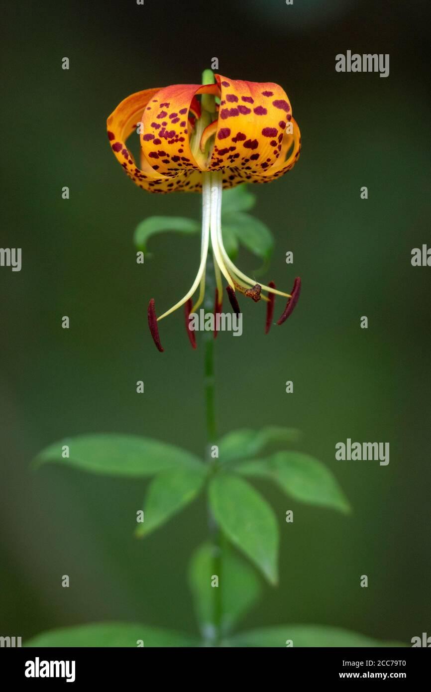 Turk's Cap Lily (Lilium superbum) - DuPont State Recreational Forest, near Hendersonville, North Carolina, USA Stock Photo