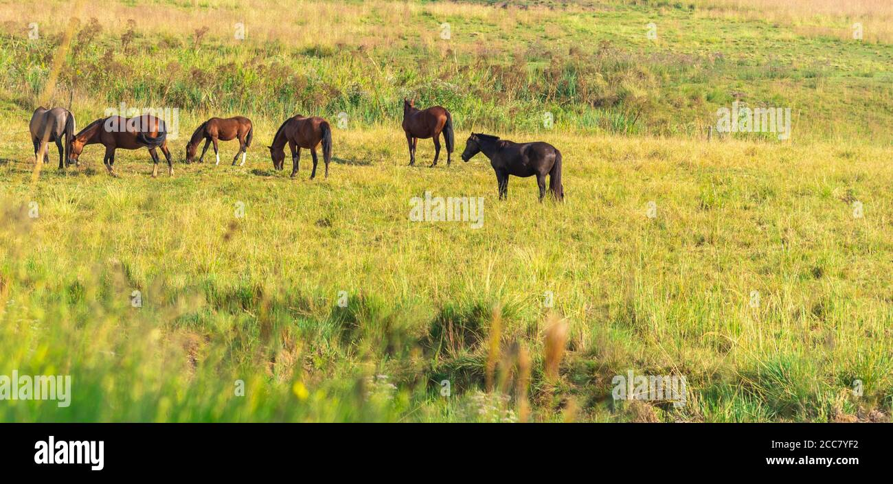 Rural Farm Creole Horses Farm And Work Animals Equine Training Center Horse Production Field In Southern Brazil Stock Photo Alamy