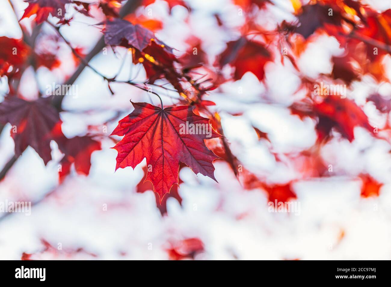 Beautiful branches with red leaves of a Norway maple (Crimson King, Goldsworth Purple)  in sunlight.   Selective focus. Stock Photo