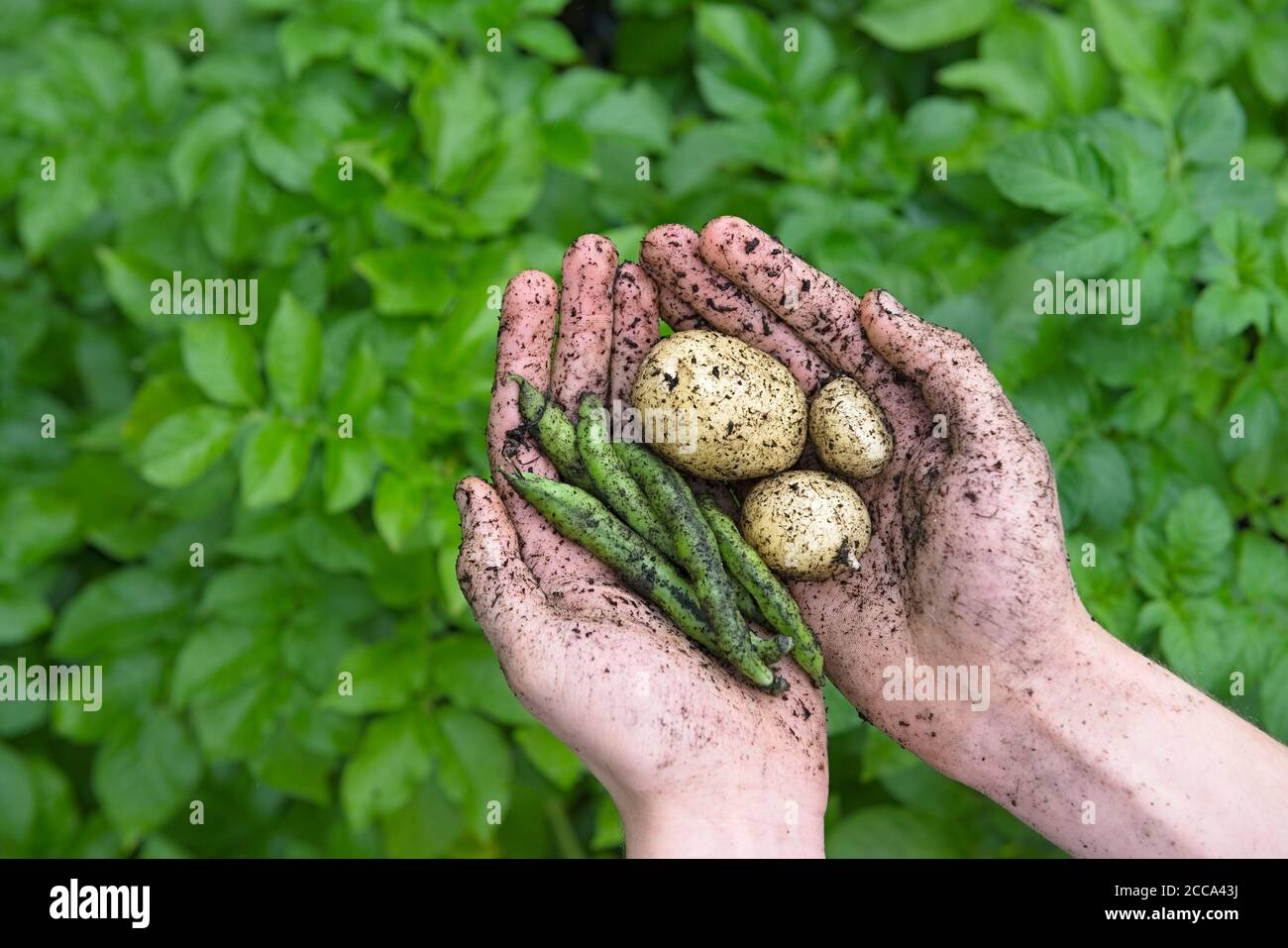 Vibrant green leafy background behind young hands that hold muddy white potatoes and healthy giant exhibition long pod beans. Healthy natural food. Stock Photo