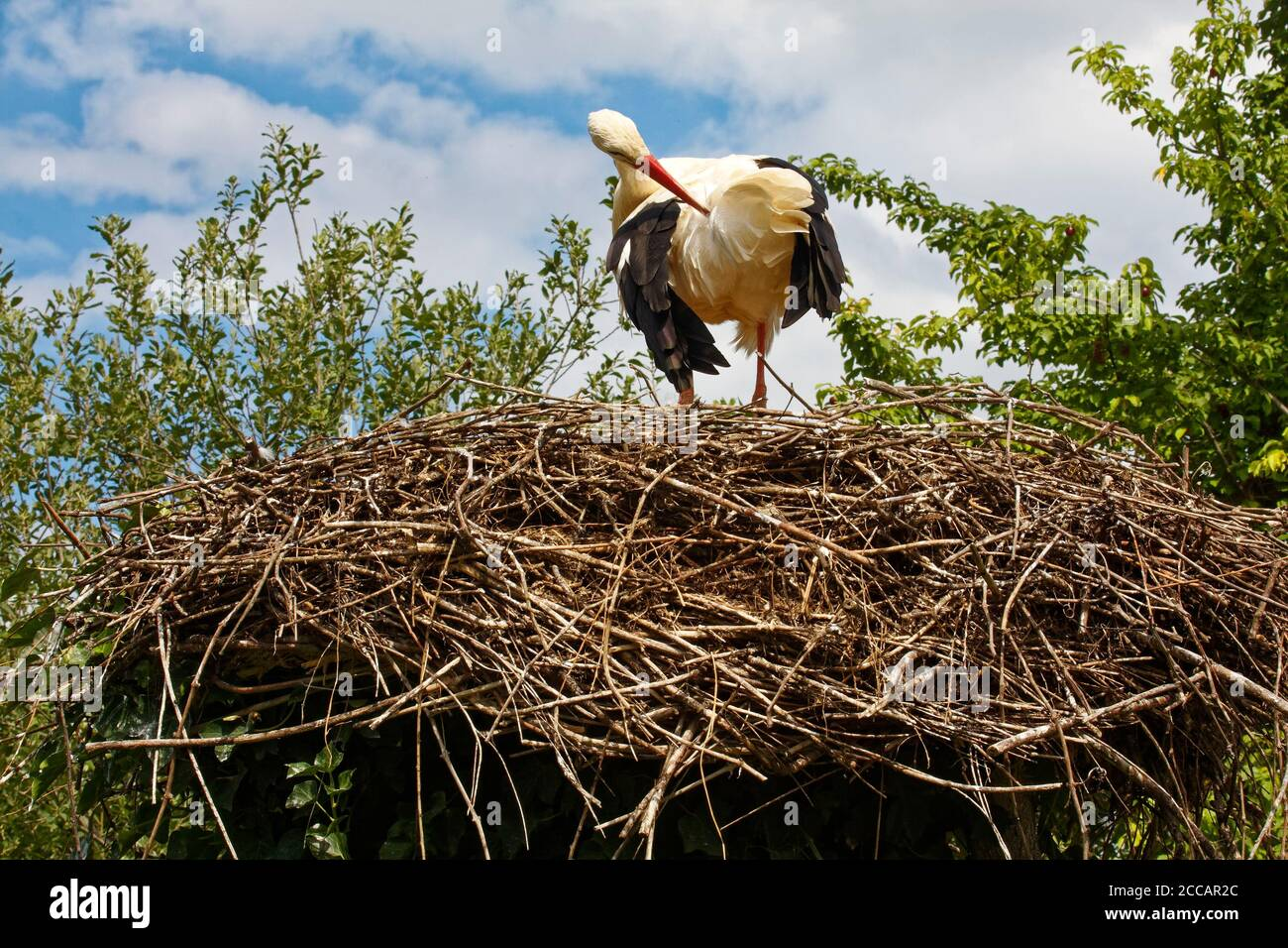White Stork preening; large nest, Ciconia ciconia; white; black; red beak; wildlife; bird; animal, Storks and Otters Reintroduction Center; Alsace; Eu Stock Photo