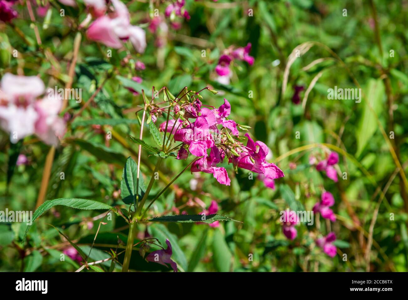 Impatiens glandulifera, a invasive plant growing next to the Kamptal-Seenweg 620, hiking near Dobra reservoir, Waldviertel, Austria Stock Photo