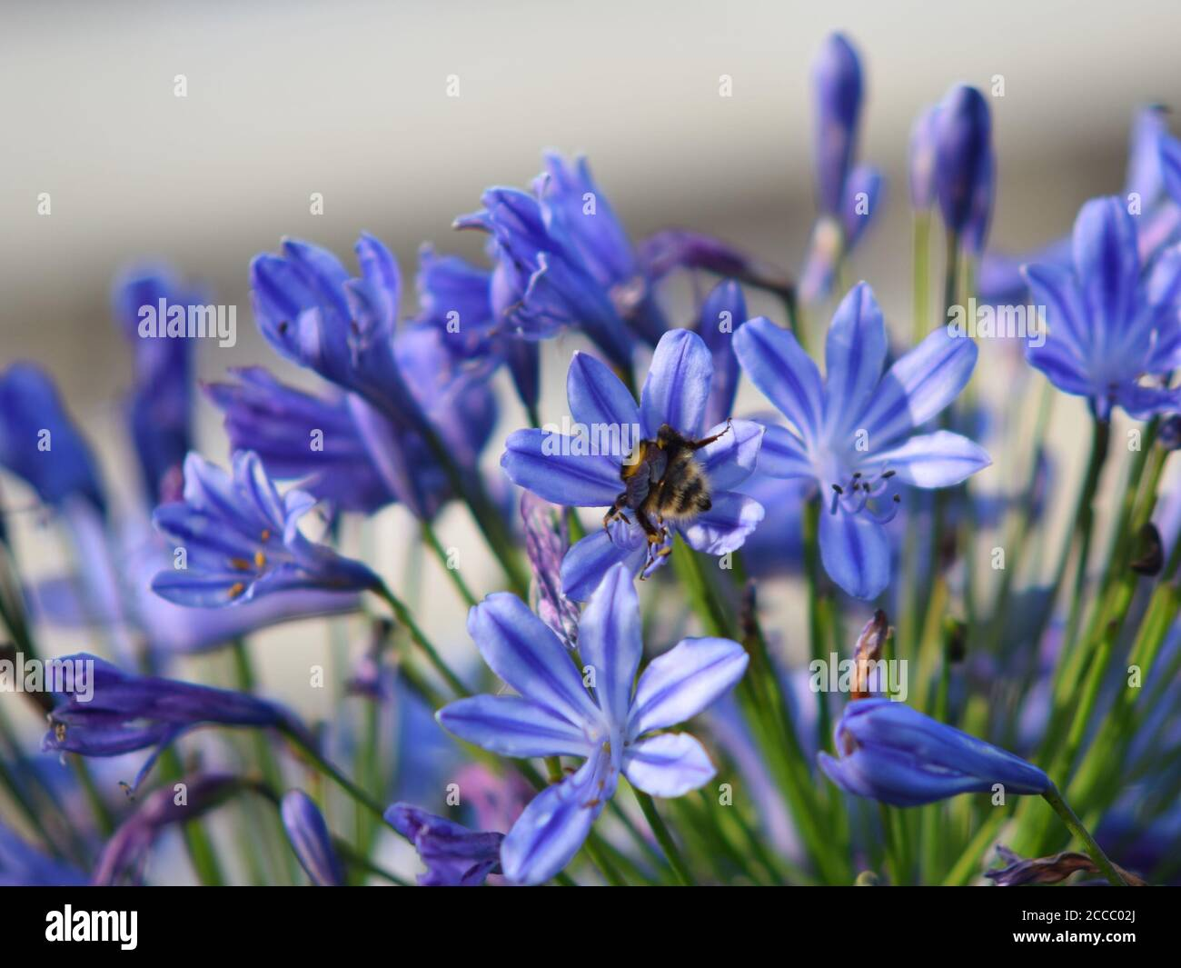 Bee on last of the summer Agapanthus Stock Photo