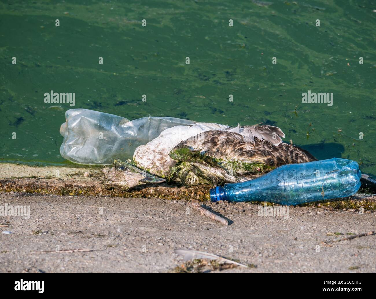 A Dead Seagull Or Bird At The Edge Of The Water Next To Plastic Bottles Pet Plastic Pollution Concept Stock Photo Alamy